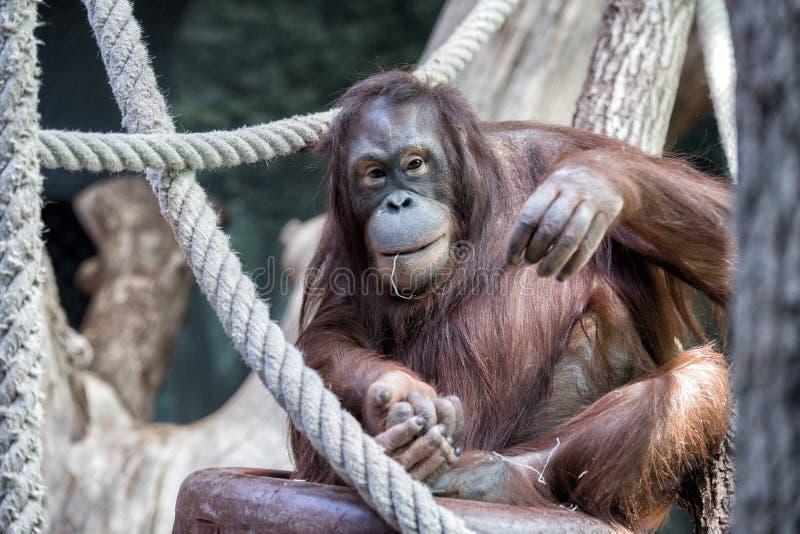 Orangutangapaslut upp ståendeblick på dig royaltyfri foto