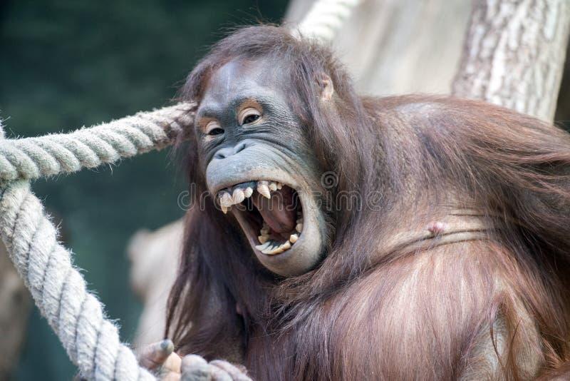 Orangutangapaslut upp ståendedetaljblick på dig royaltyfri bild