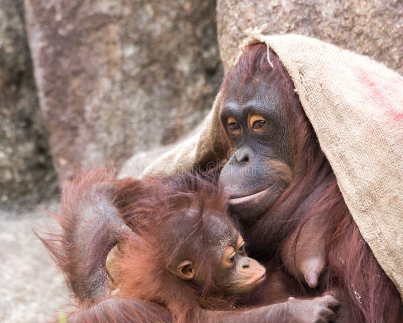 Orangutanget - behandla som ett barn Lunchtime royaltyfri foto
