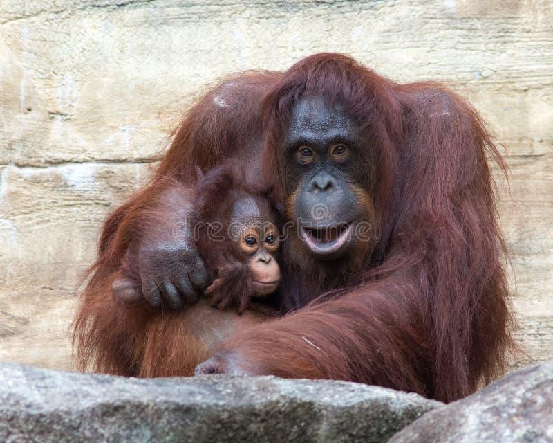 Orangutanget - fostra och behandla som ett barn arkivbild