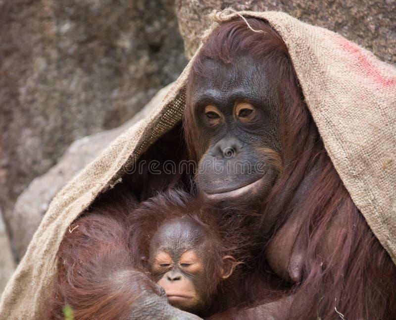 """Orangutanget - fostra och behandla som ett barn """"stolt"""", royaltyfri fotografi"""