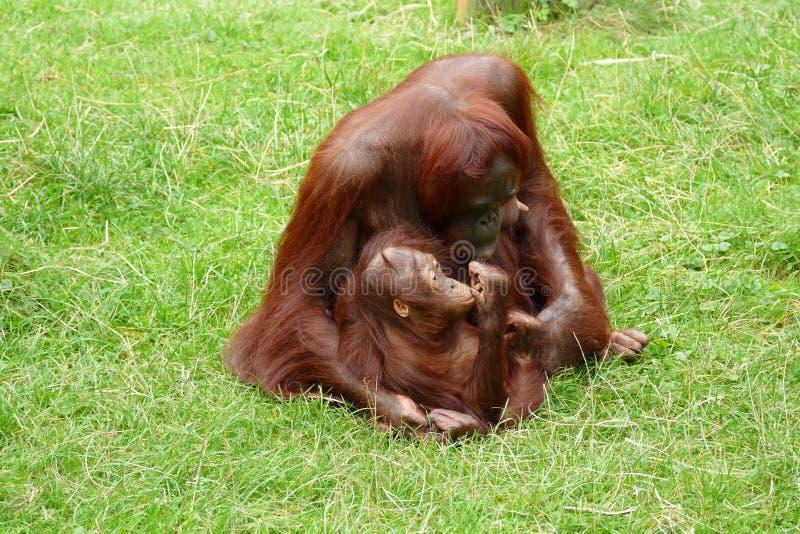 Orangutangmoder med det lilla barnet royaltyfri foto