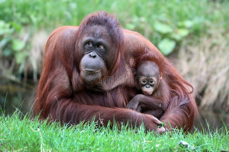 Orangutangmodern med behandla som ett barn royaltyfria foton