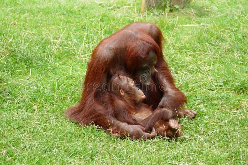 Orangutangmodern med behandla som ett barn arkivbild