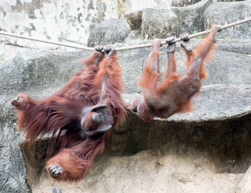 Orangutangs in the Zoo. Pair of orangutangs on a rope stock photo