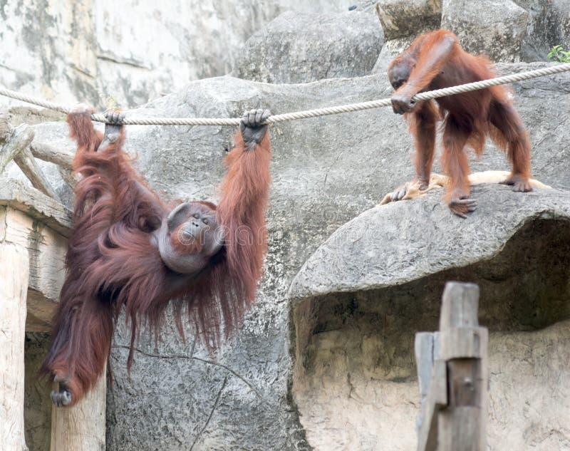 Orangutangs in the Zoo. Pair of orangutangs in the Zoo royalty free stock images