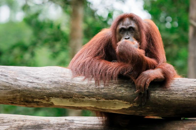 Orangutangzoo i Kota Kinabalu, Malaysia, Borneo royaltyfri bild