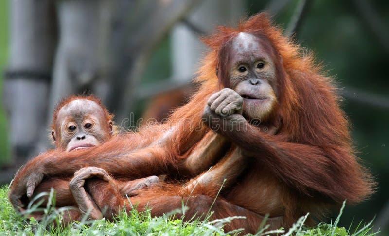Orangutanmoder och barn royaltyfria bilder