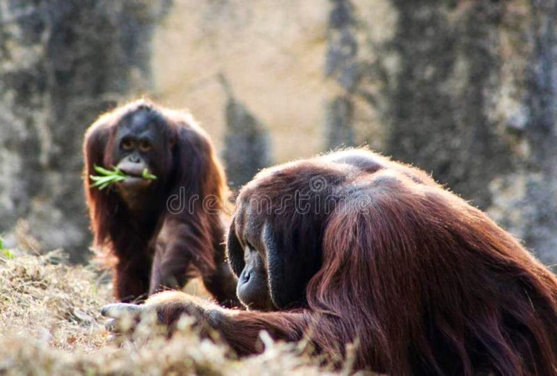 orangutans arkivbilder