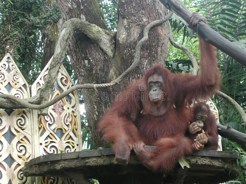 Download Orangutans stock photo. Image of relax, brown, nature, malaysia - 36640