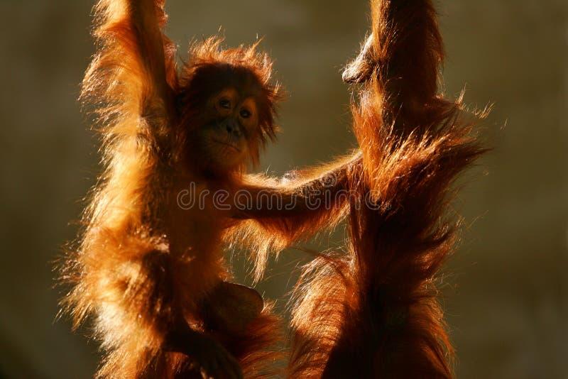 orangutans royaltyfria bilder