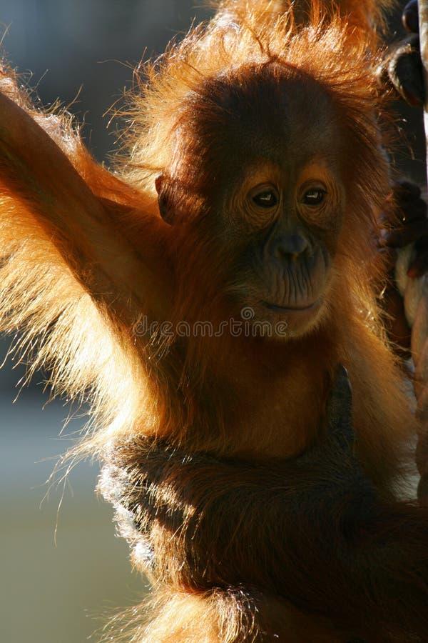orangutans στοκ εικόνα με δικαίωμα ελεύθερης χρήσης