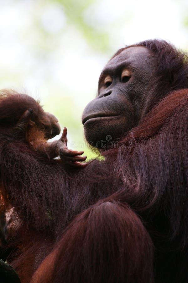 orangutans στοκ φωτογραφία