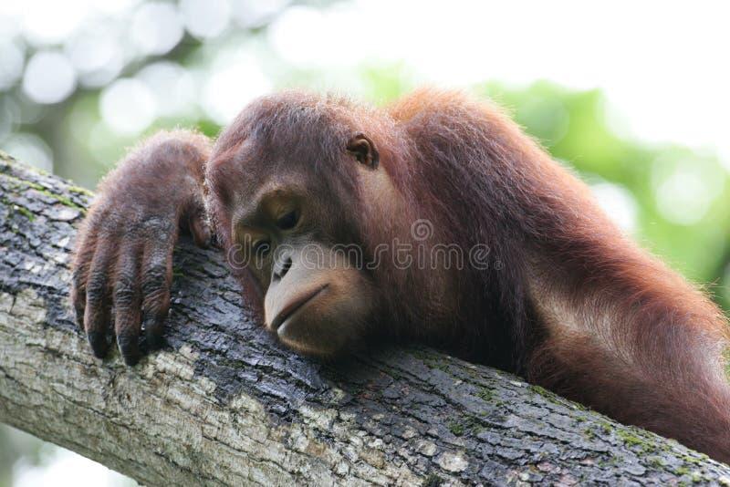 orangutans royaltyfri foto