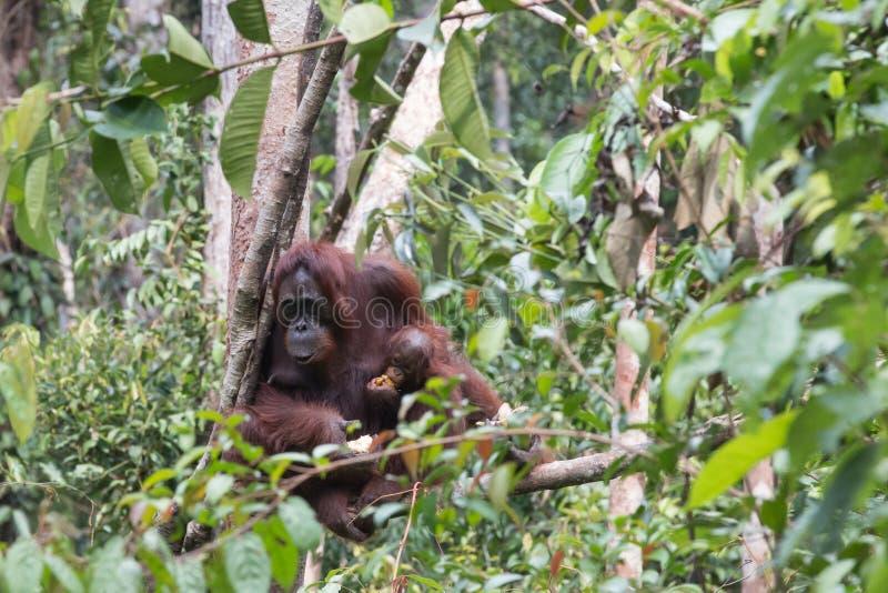 orangutans photos libres de droits