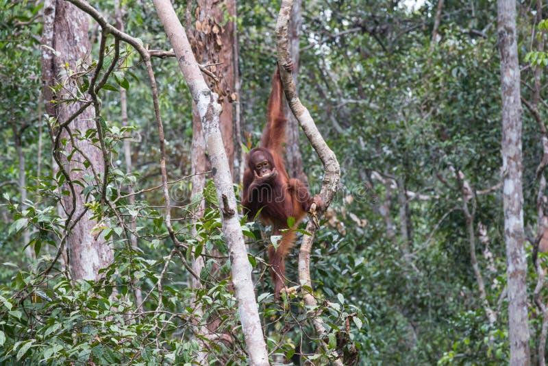 orangutans photographie stock libre de droits