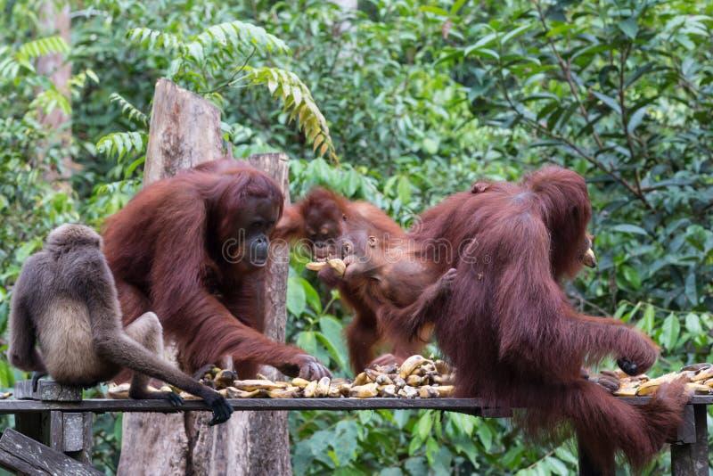 orangutans images libres de droits