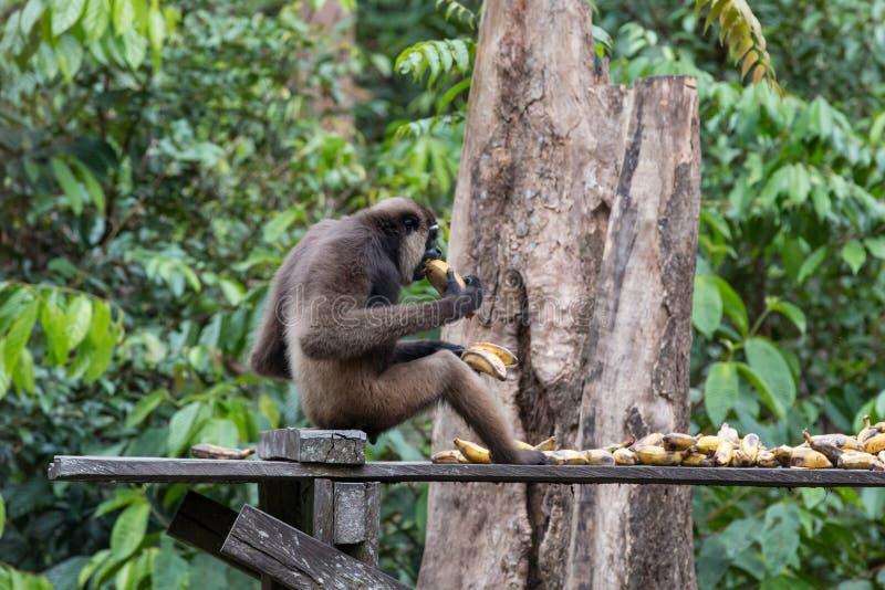 orangutans photo stock