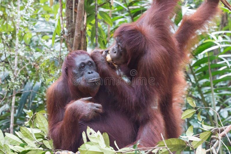 orangutans royaltyfri fotografi