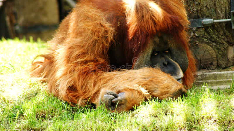 orangutans fotos de stock