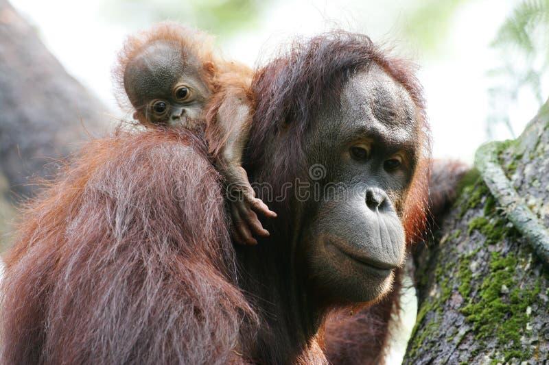 orangutany obraz royalty free