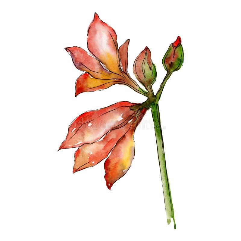 Oranje amaryllisbloemen Het geïsoleerde element van de boeketillustratie Waterverf achtergrondillustratiereeks royalty-vrije illustratie