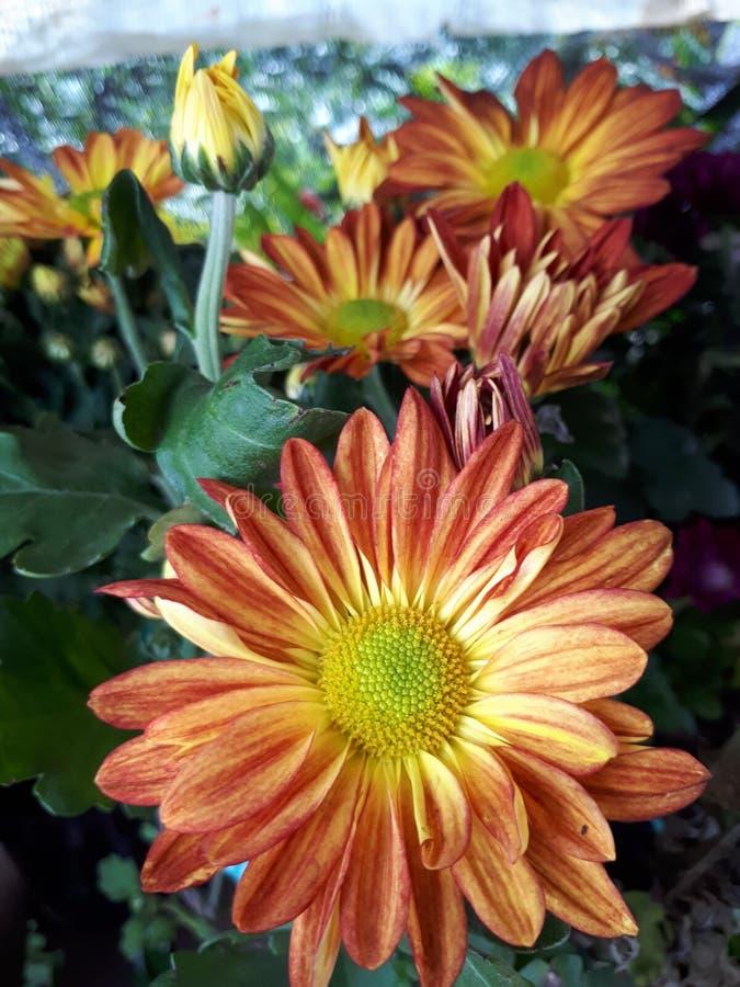 Oranje aster royalty-vrije stock fotografie