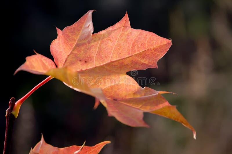 Oranje blad van een esdoorn tegen een donkere achtergrond stock afbeeldingen