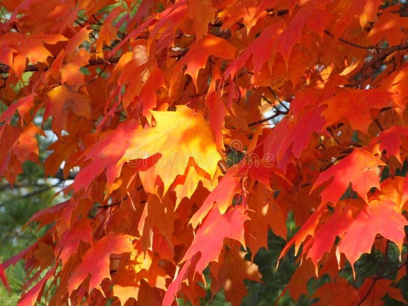 Oranje Bladeren stock afbeeldingen
