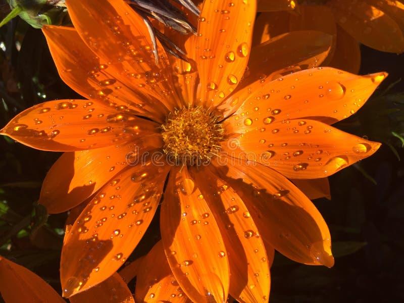 Oranje blij u zei ik geen bloem stock foto's