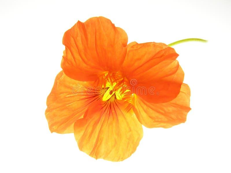 Oranje bloem royalty-vrije stock fotografie
