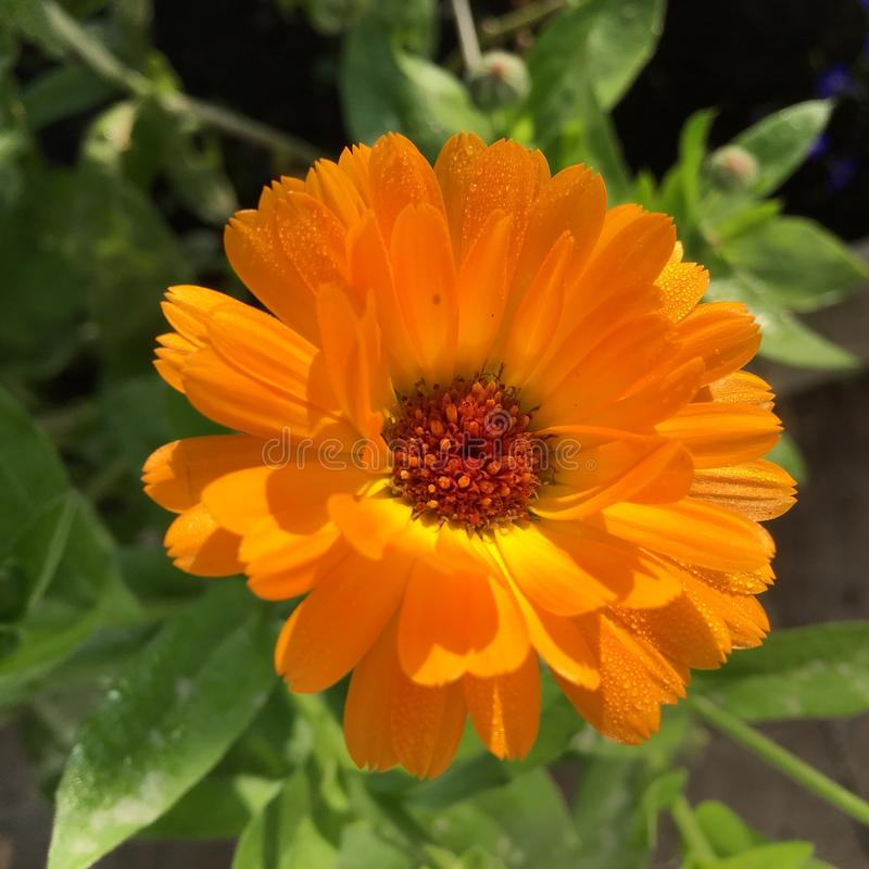 Oranje bloem met dauw royalty-vrije stock afbeeldingen