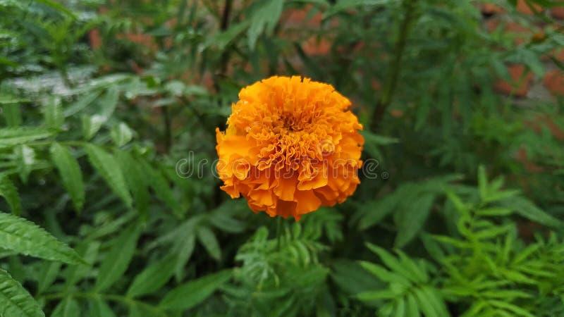 Oranje bloem met mooie geur stock foto