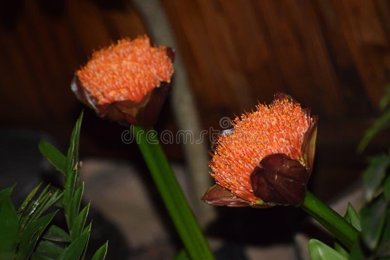 Oranje bloem met unieke kleur stock afbeelding