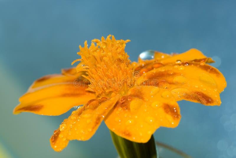 Oranje bloem met waterdaling royalty-vrije stock foto's