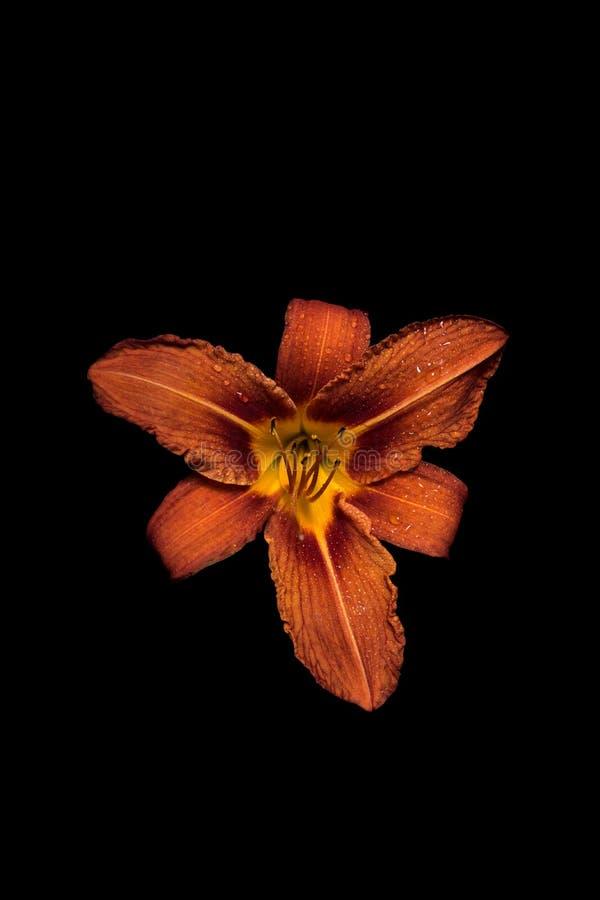 Oranje Bloem met waterdruppeltjes royalty-vrije stock afbeeldingen