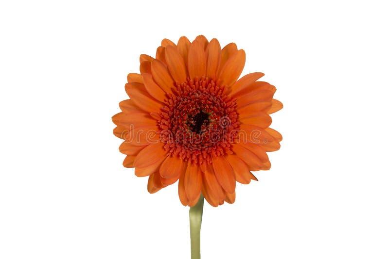 Oranje bloem op een witte achtergrond royalty-vrije stock afbeelding