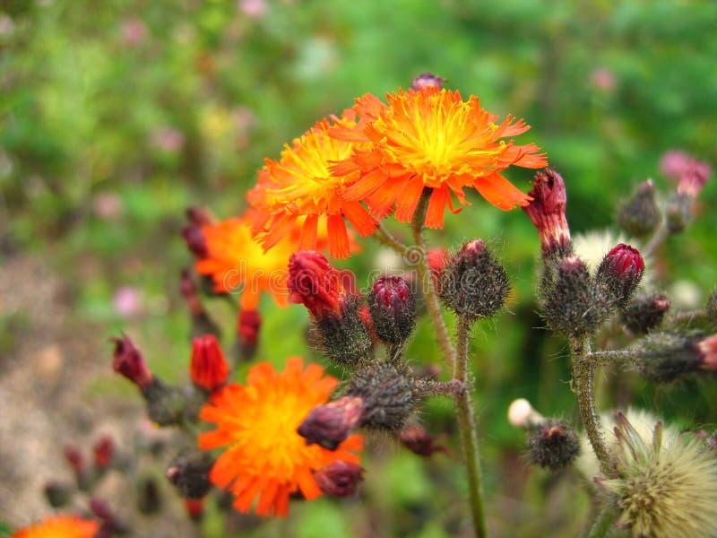 Oranje bloemclose-up op groene achtergrond royalty-vrije stock afbeeldingen