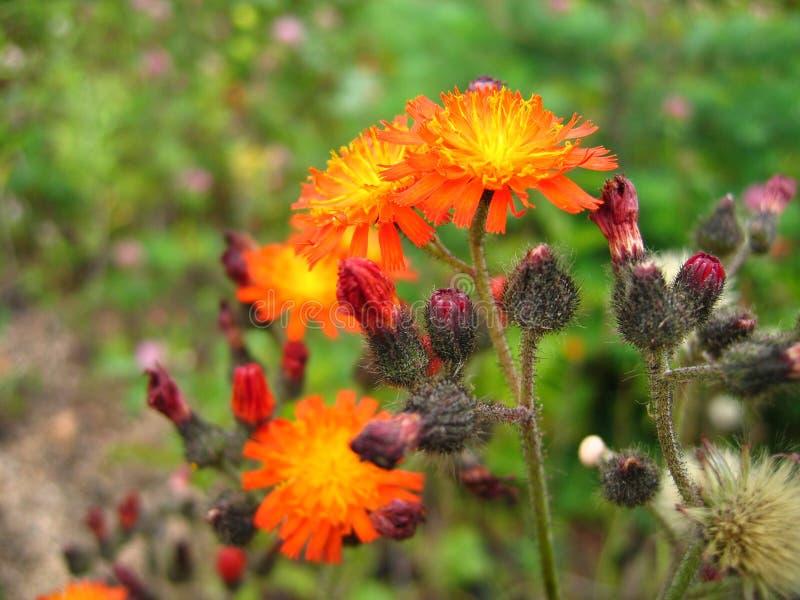 Oranje bloemclose-up op groene achtergrond stock fotografie