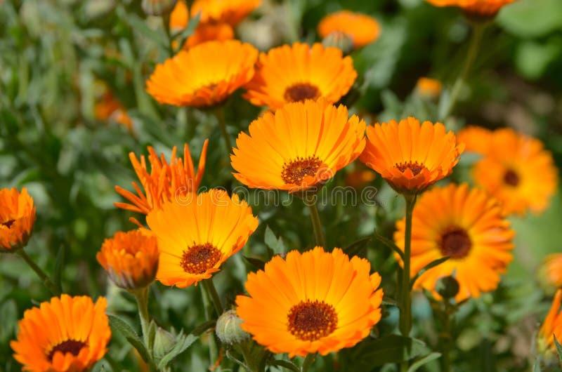 Oranje bloemen Calendula stock afbeelding