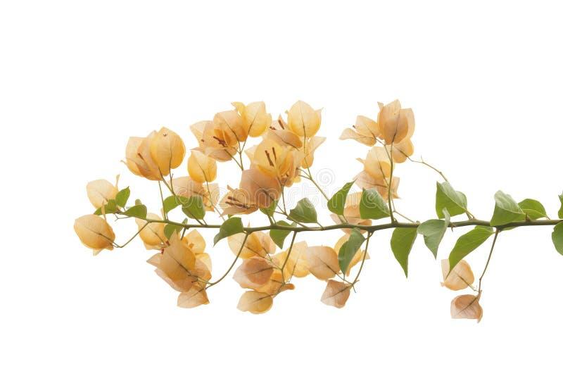 Oranje bloemen op witte Achtergrond stock fotografie