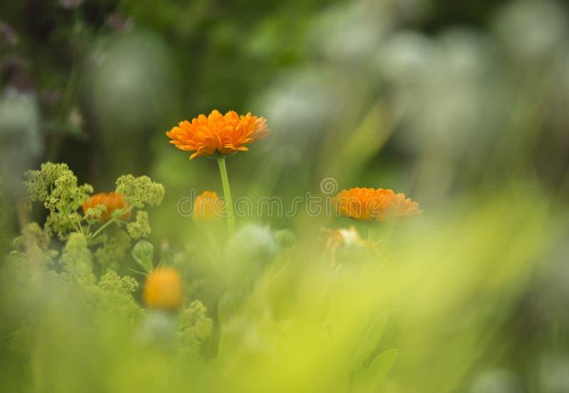 Oranje Bloemen in tuin royalty-vrije stock afbeelding