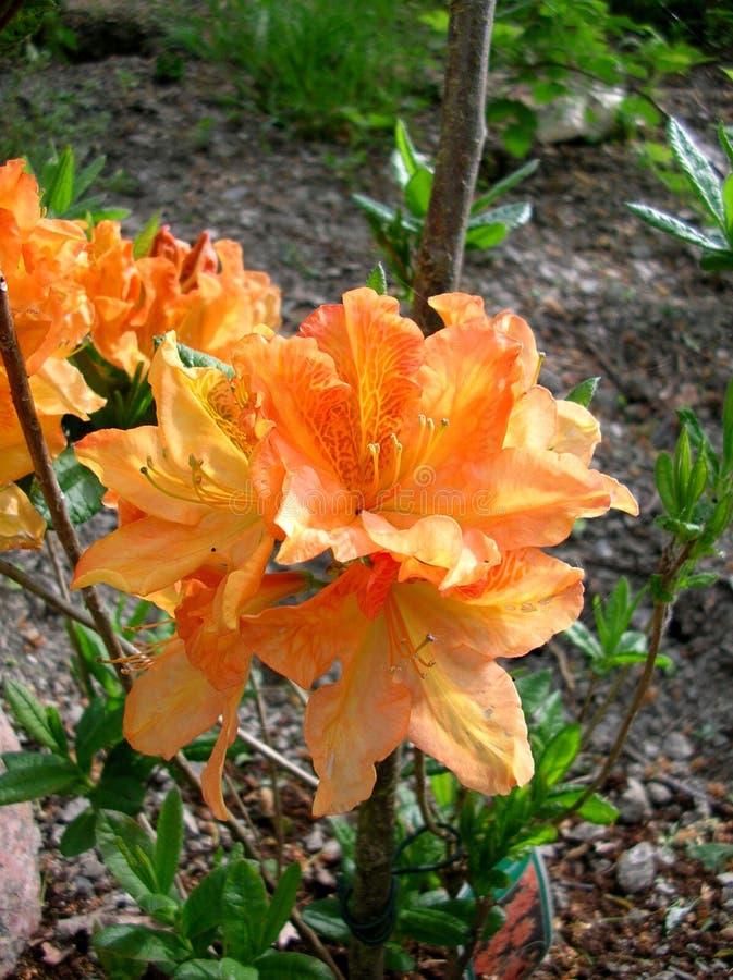 Oranje bloemen van een Azalea royalty-vrije stock fotografie