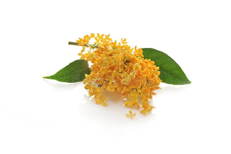 Oranje bloemen van zoete osmanthus stock afbeeldingen