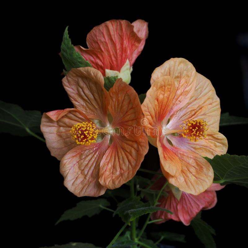 Oranje bloemenesdoorn abutilon op een zwarte achtergrond Sluit omhoog royalty-vrije stock fotografie