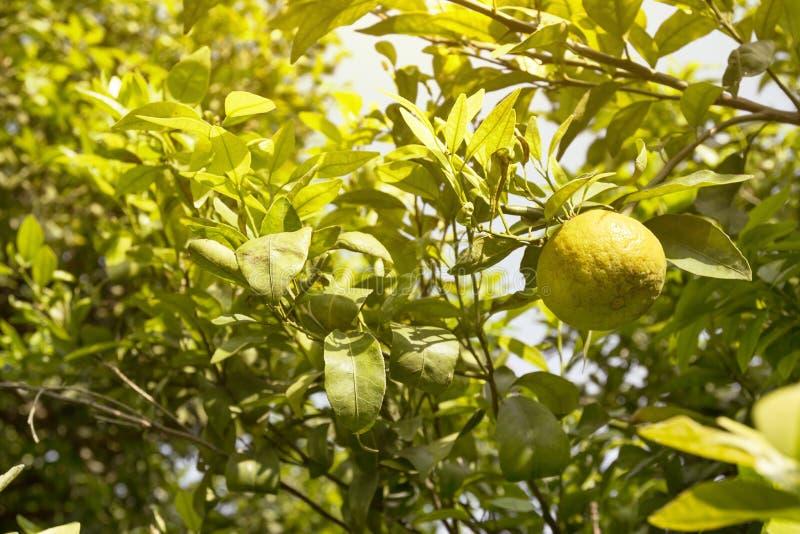 Oranje bomen in aanplanting stock foto's