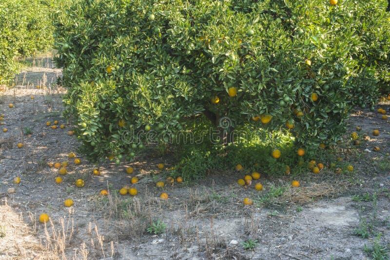 Oranje bomen in aanplanting royalty-vrije stock fotografie