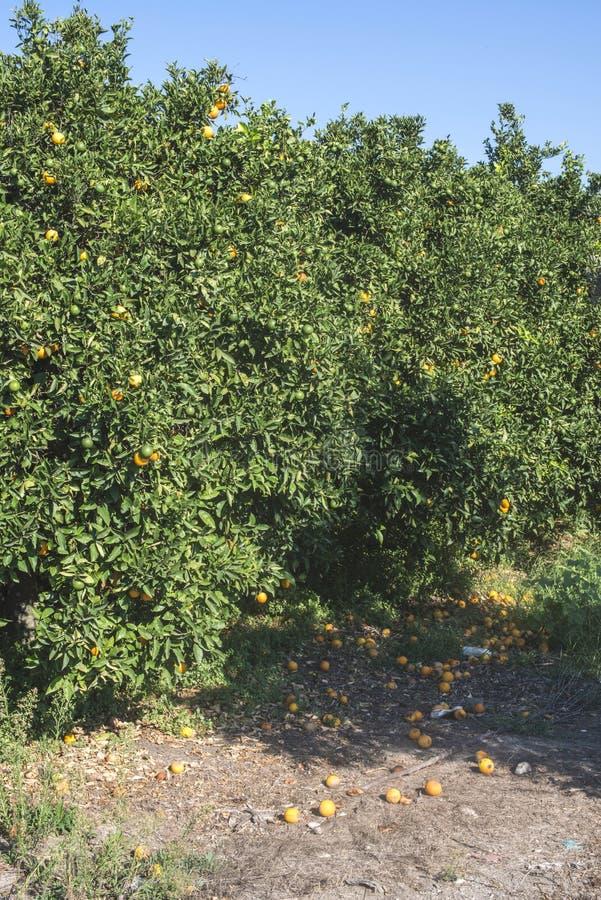 Oranje bomen in aanplanting royalty-vrije stock afbeelding