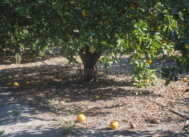 Oranje bomen in aanplanting royalty-vrije stock foto