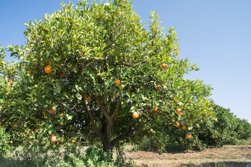 Oranje bomen in aanplanting stock afbeelding